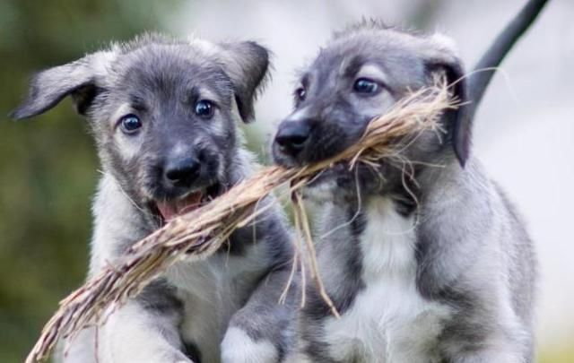 Cullen and Romulus, are identical Irish wolfhound twins.