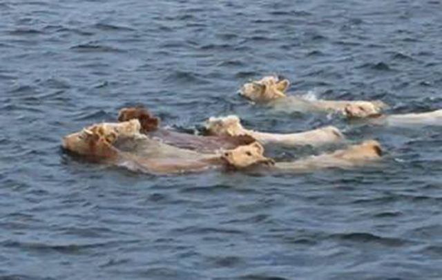 These bovine bathing beauties are strong swimmers!