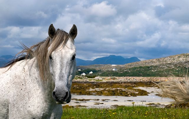 What\'s not to love about Connemara ponies!