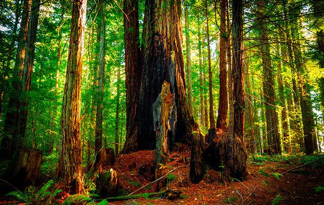 The California Redwoods.