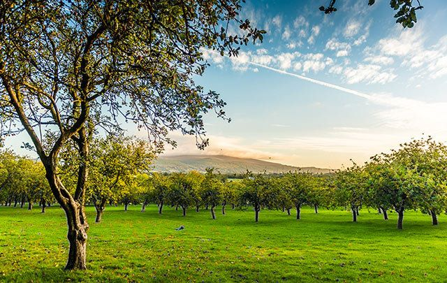 The combination of the bright Irish sunlight and the gentle Tipperary rain make this part of the world ideal for growing the 17 varieties of cider, culinary and dessert apples that are used to create Magners.