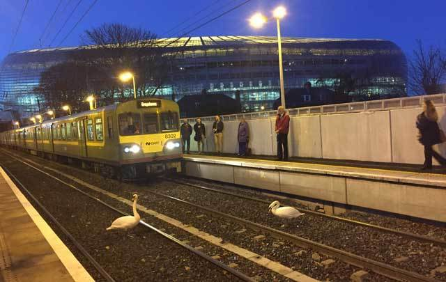 Two swans wandered across the train tracks in Dublin, causing disruptions to rail service during rush hour.