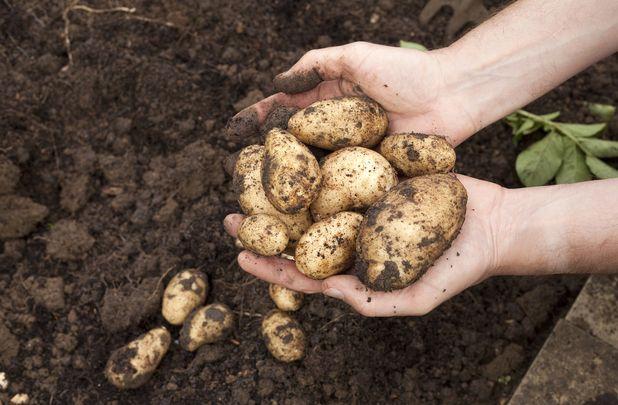 Freshly harvested healthy potatoes