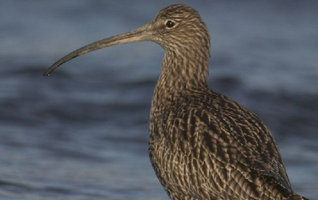 """The Irish breeding population of the Curlew has declined by a """"staggering 97% over the past 40 years."""""""