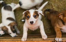 Thumb_puppy_puppies_dogs_farm_istock