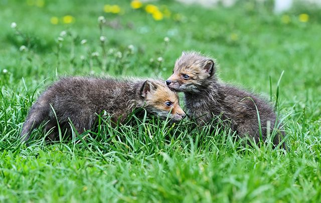 A pair of adorable fox cubs were rescued by the Kildare Animal Foundation Wildlife Unit.
