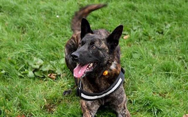 Northern Ireland Police dog Jake, a four-year-old Dutch Herder.