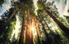 Thumb_red_wood_trees_istock__2_