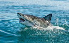 Thumb_shark-attack-husband-wife