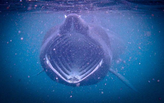 Basking shark.