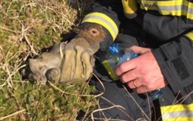 Rabbit caught in gorse fire gets a drink of water from firefighter Tom Collins.
