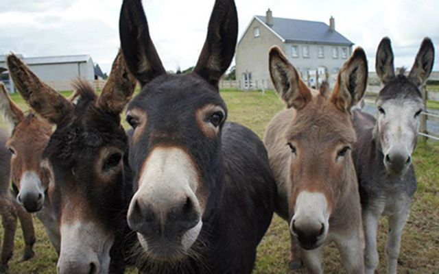 Residents of the Donegal Donkey Sanctuary