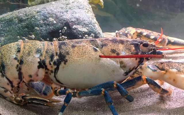 A rare white lobster found off the coast of Achill Island.