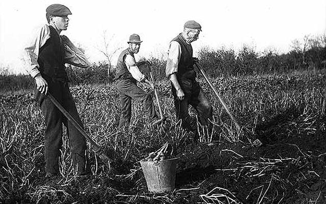 Digging for potatoes.