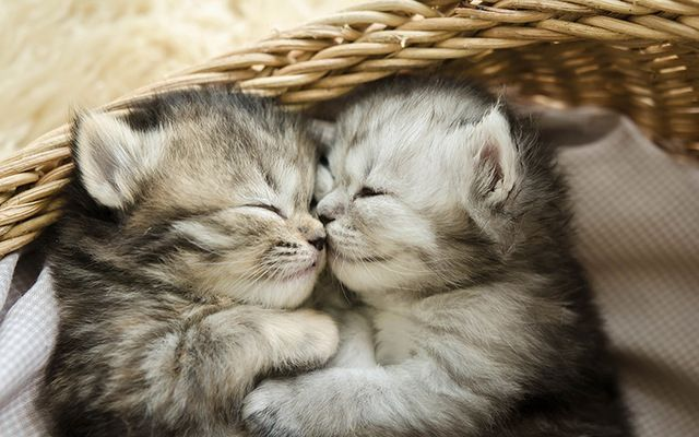 Tabby kittens sleeping and cuddling.