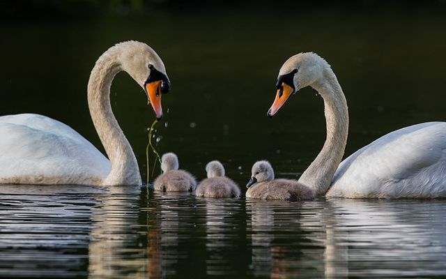 Swans and cygnets.