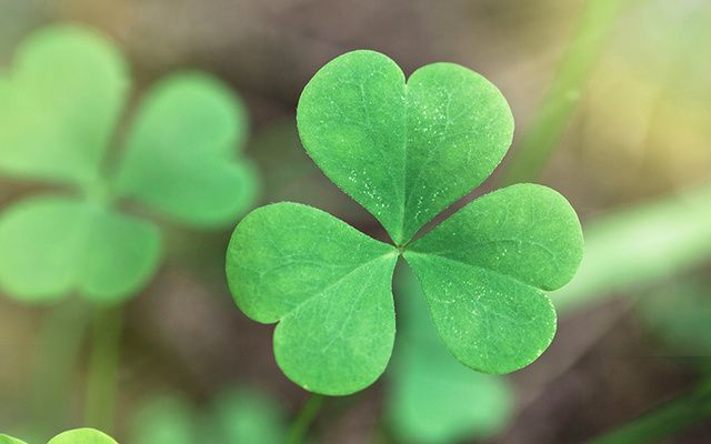The New York Times Mistakes The Four Leaf Clover As The Symbol Of