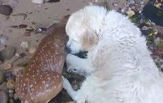 Thumb_stor-deer-rescue