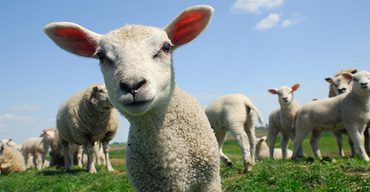 Cropped_lamb_sheep_istock