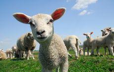 Thumb_lamb_sheep_istock