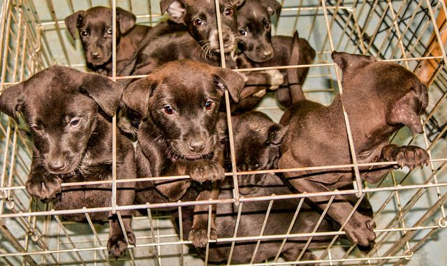 Dogs are left suffer in small overcrowded cages before being sold