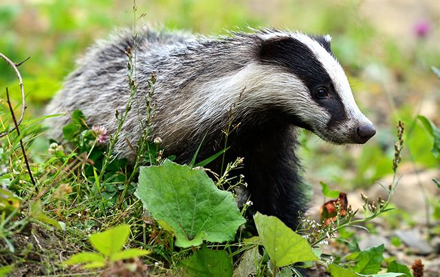 Between 6,000 and 7,000 Irish badgers legally snared or shot each year.