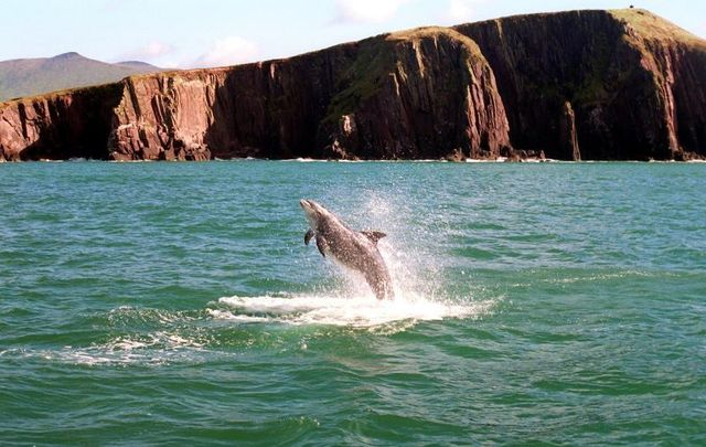 Fungie the Dolphin in Dingle, Co Kerry.