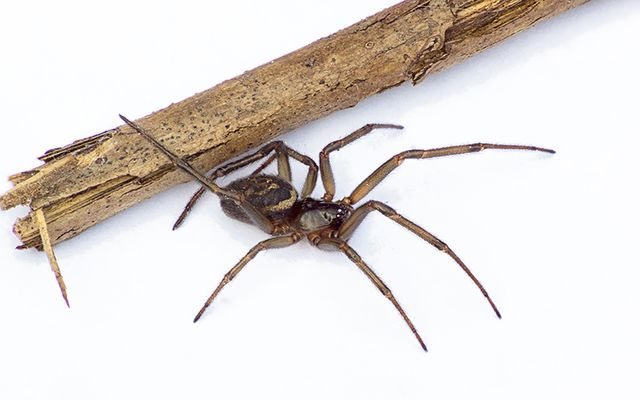 The flase widow spider\'s bite can be nasty.
