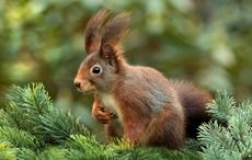 Thumb_red_squirrel