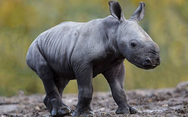 Welcome, little one! The Dublin Zoo has a new baby rhino.