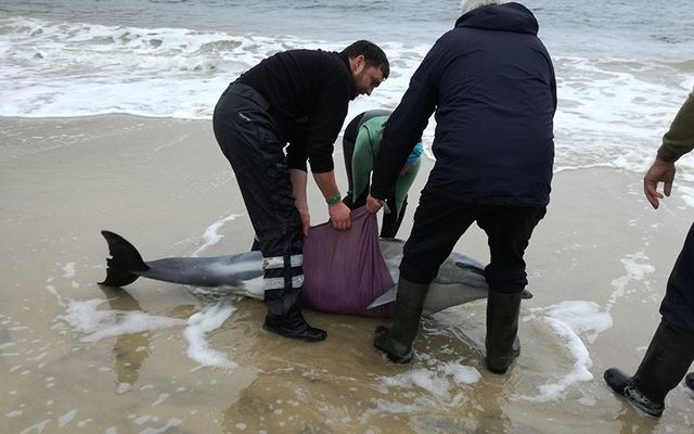 Achill Islanders come to the rescue of beached dolphins at Keem Bay.