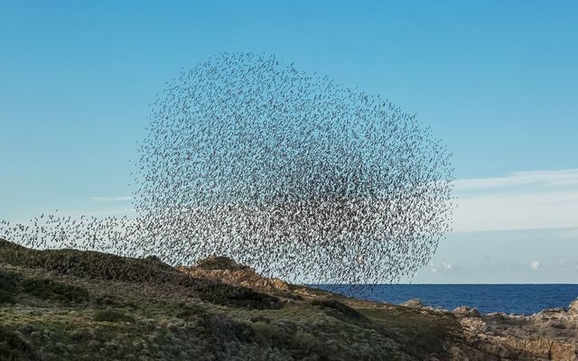 This starling murmuration video in Ireland is amazing, as thousands of the bird flock together to fly in escape of a falcon attack.