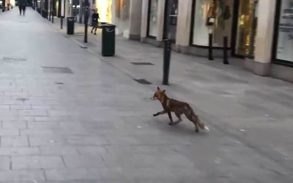 A fox prowls along Grafton Street in Dublin City Center.