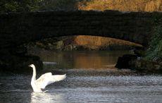 The ancient Irish myth Children of Lir, the basis for Swan Lake