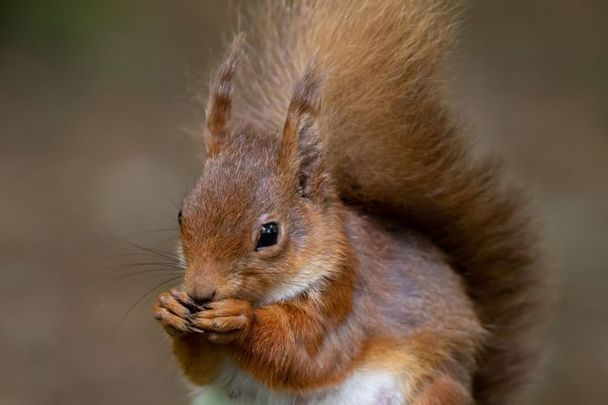 A red squirrel in Co Donegal.