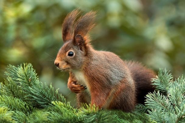 The native Irish red squirrel.