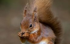 National Squirrel Appreciation Day: Irish red squirrel continues it's comeback