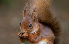 National Squirrel Appreciation Day: Irish red squirrel continues it's comeback