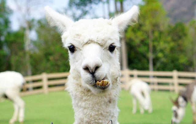 Sure why not! A County Clare farmer is having a llama mind his sheep.