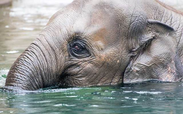 An elephant cools off in the water.