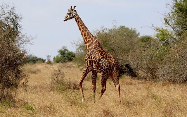 A black giraffe, just like the one Tess Thompson Talley, and Irish American, shot and killed in South Africa.
