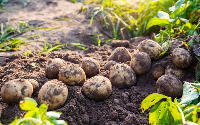 Potato shortage in Ireland offered at good odds by Irish bookmakers Paddy Power.