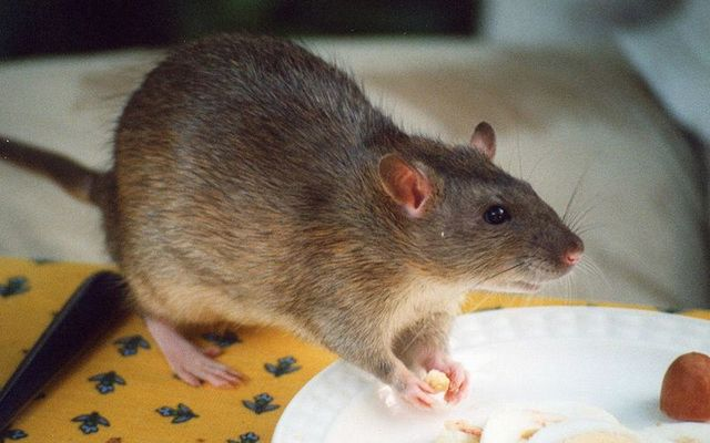 A rat helping itself to food