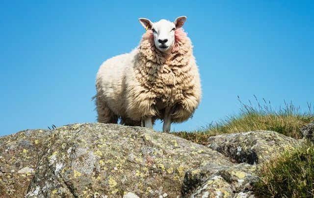 A sheep fell on a hiker in Co Down