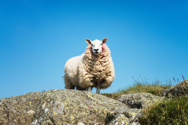 Only In Ireland Sheep Falls On Hiker On Co Down Mountain
