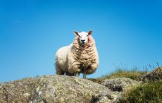 Only in Ireland! Teen hospitalized after being struck by falling sheep
