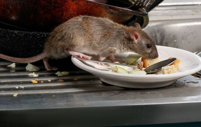 Rats in the drains: Would you eat at this restaurant?