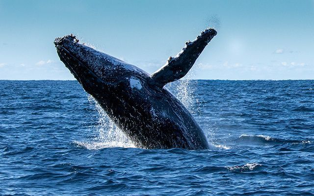 Stock image of humpback whale.
