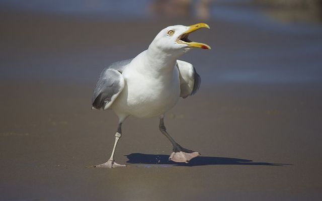 You might find them a little pesky but Irish seagulls could be under threat!
