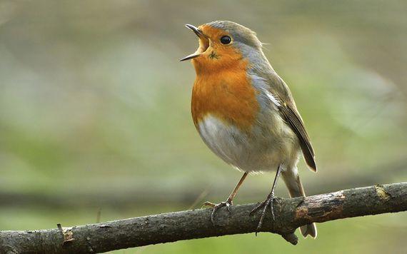 An Irish red robin.